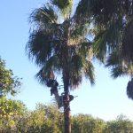 Poda palmera-Ateca